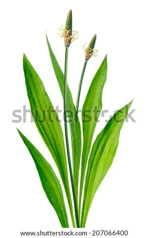 Ribwort (Plantago lanceolata) - stock photo