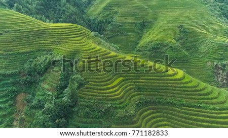 Rice - Cereal Plant, Springtime, China - East Asia, Asia, East Asi