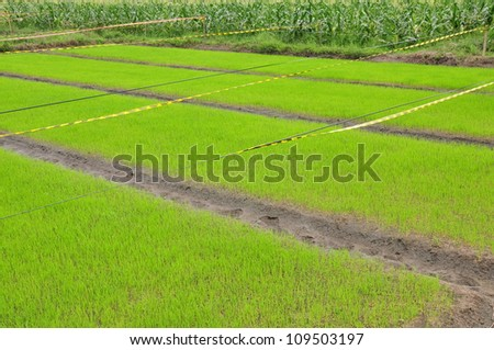 rice cultivated