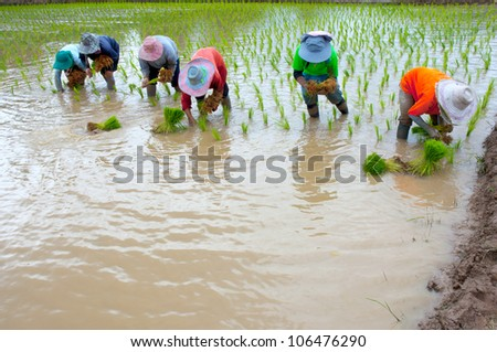 Rice cultivation. - stock photo