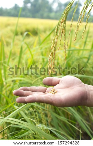 Rice drop into hand among paddy field, Thailand - stock photo