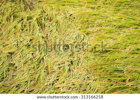Rice falling down because of strong winds - stock photo