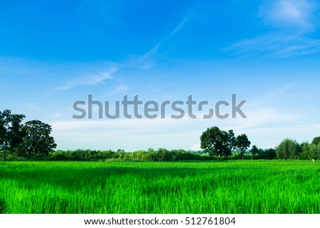 Rice farm background in morning