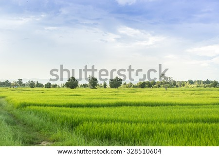 Rice Farm in northeastern of Thailand, Rice was nearing harvest time.