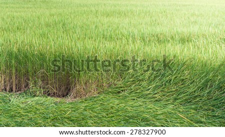 Rice farmland,Thailand. - stock photo