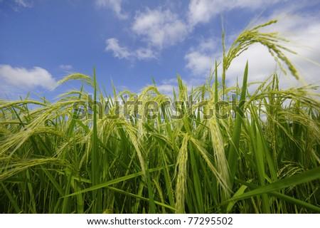 Rice field - stock photo