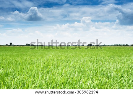 Rice field and sky with white clouds background - stock photo