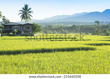 rice field and the village