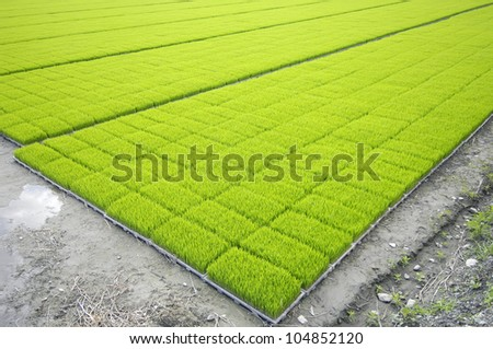 Rice field background - stock photo