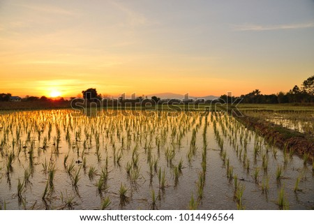 Rice field befor sunset in evening, North of thailand.