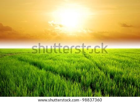 Rice field green grass blue sky cloud cloudy landscape background lawn sunset sunrise - stock photo