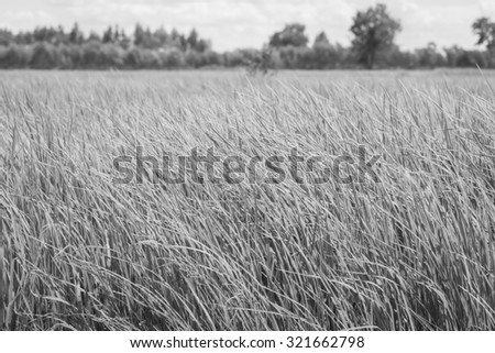 Rice field green grass blue sky cloud cloudy landscape , black and white - stock photo