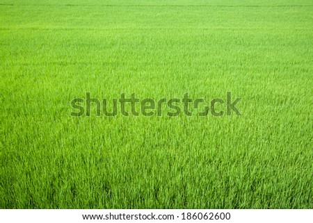 Rice field green grass farming fresh. - stock photo
