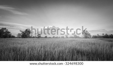 Rice field green grass landscape sunset , black and white - stock photo