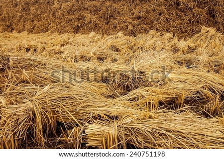 Rice field hay stack lying in the farmland