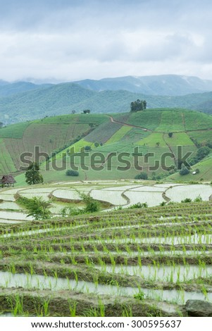 Rice field in Chiangmai , Thailand