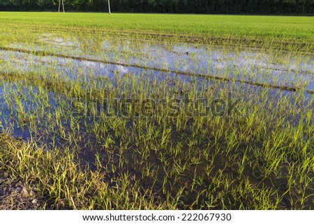 rice field in Girona, Catalonia, Spain during the summer - stock photo