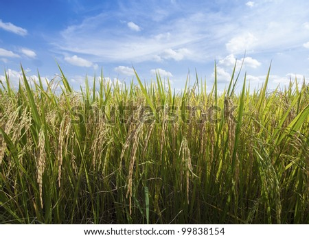 rice field in nature with blue sky