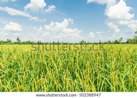 Rice field in Thailand, Agriculture concept background