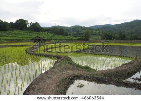 Rice field in the north of Thailand.