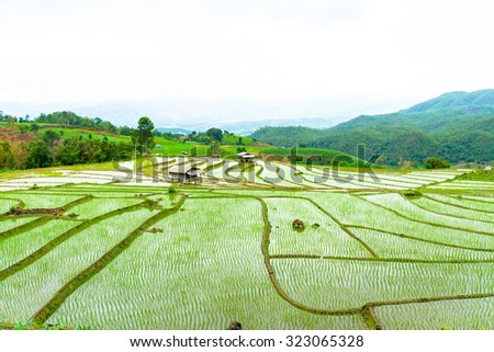 Rice Field in the raining season on the mountain in Thailand