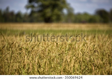 Rice field n country  of Thailand (northeast)