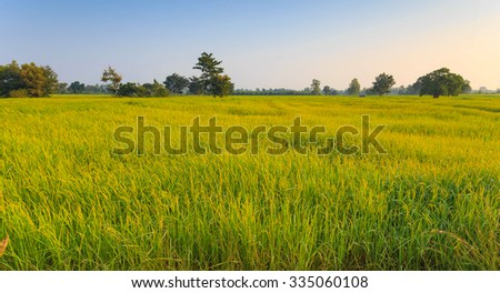 Rice Field of Farmer near harvest. in Thailand - stock photo