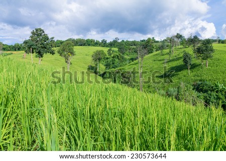 Rice Field on the Mountain