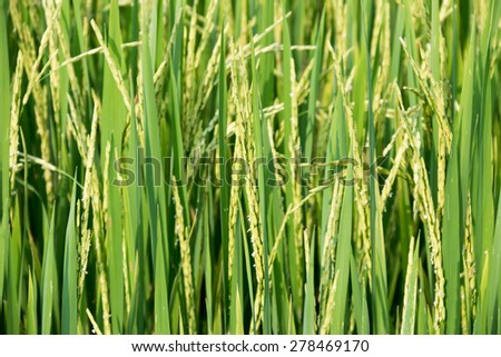 Rice field on tropical