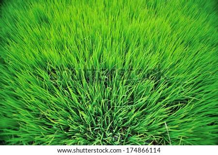 Rice field texture - stock photo