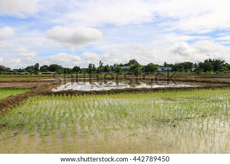 Rice field Thailand