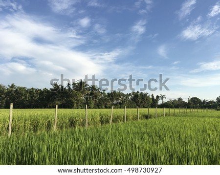 Rice field with blue sky