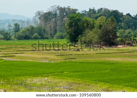 Rice field with buffalo and cottage in countryside - stock photo