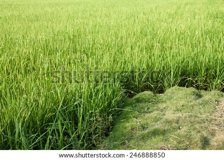 Rice field with green grass agriculture farm background texture from THAILAND. - stock photo
