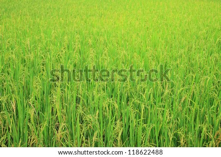 Rice field with rice panicle