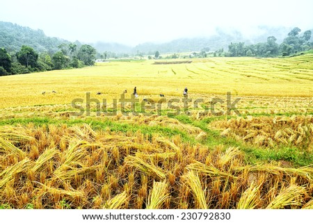 Rice fields harvest season at Chiang Mai Thailand. - stock photo
