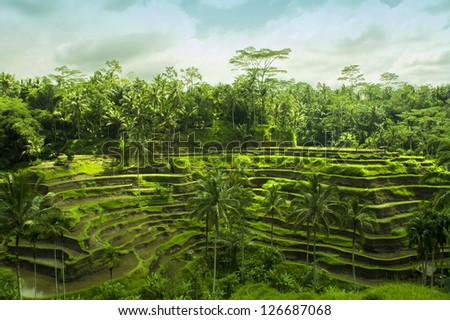 Rice fields in Bali - stock photo