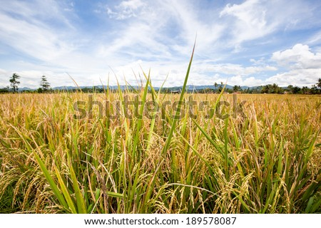 Rice fields in Country side village in Indonesia