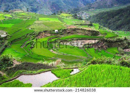 Rice fields in Philippines - stock photo