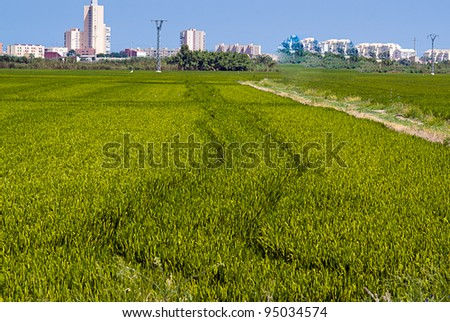 rice fields in Valencia, Spain