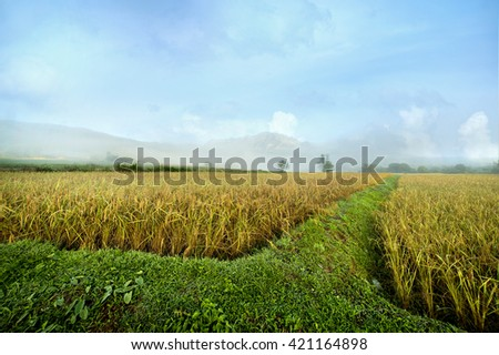 Rice fields near the mountains.