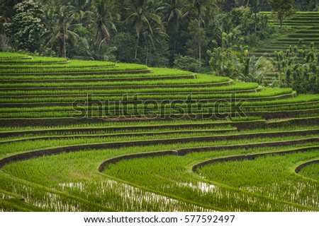 Rice Fields of Bali, Indonesia. Some of the most dramatic and beautiful rice terraces in Bali can be seen around the village of Belimbing in the Tabanan Regency.