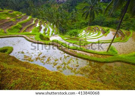 Rice fields on terraced, Bali, Indonesia
