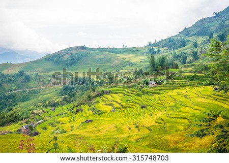 Rice fields on terraced near Sapa, Laocai, Vietnam. Rice fields prepare the harvest at Northwest Vietnam. it's a famous location for travel