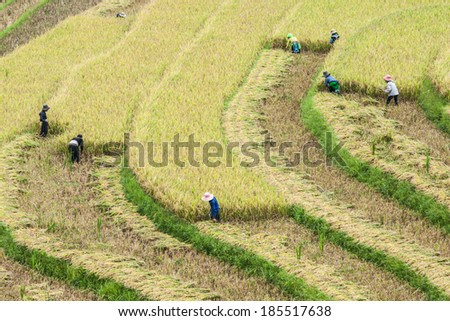 Rice fields on terraced of Y Ty,Lao Cai,Vietnam. Rice fields prepare the harvest at Northwest Vietnam