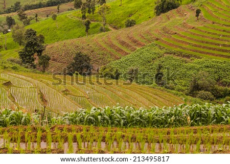 rice fields on terraced- terraced rice fields.