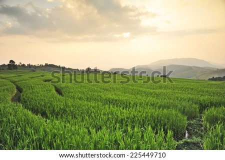 Rice fields,Papongpieng,Chiang Mai,Thailand.