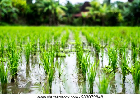 Rice fields, terraces, plantation, farm. An organic asian rice farm and agriculture. Young growing rice