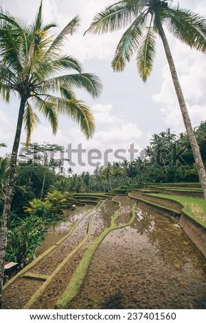 Rice fields, Ubud, Bali, Indonesia  - stock photo