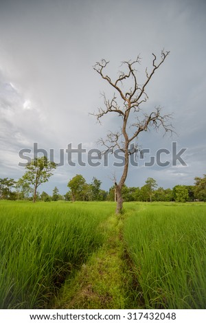 Rice fields with dramatic blue sky background weather patterns and cloud formations Asia - stock photo
